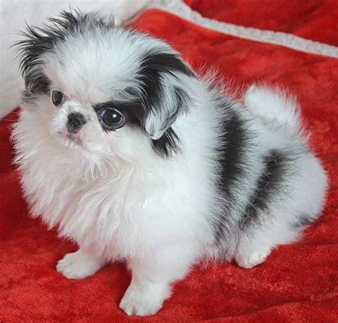 japanese chin puppy  sale  boca raton south florida