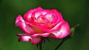 Beautiful Flowers Roses 692289 - WallDevil