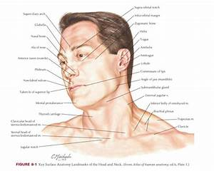 Surface Anatomy Of The Head And Neck Region