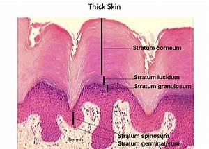Thick Skin - Epidermal Layers