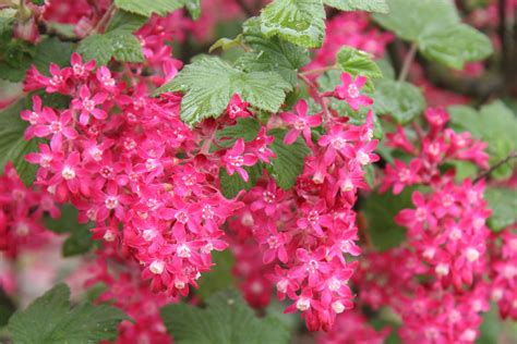 outdoor plants huntersgardencentre com ribes flowering currant 1
