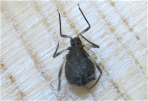 black bugs on christmas tree live tree alert aphids enter apartment on tree what s that bug