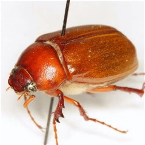 How To Get Rid Of June Bugs On My Porch by How To Get Rid Of June Bugs Archives Home Of Absolute