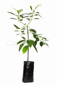 Avocado Baum Pflege : keimling avocado baum werk in planting stockfoto colourbox ~ Orissabook.com Haus und Dekorationen