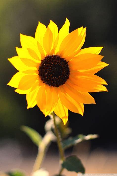 beautiful sunflower  hd desktop wallpaper   ultra