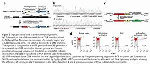 Will New Gene Editing Tech Ngago Challenge Crispr