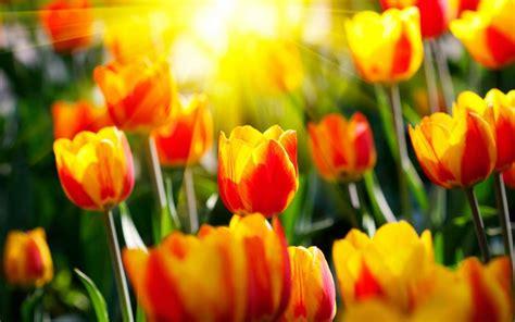 Download Bilder Für Das Handy Blumen, Hintergrund, Tulpen