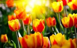 Bilder Blumen Kostenlos Downloaden : download bilder f r das handy blumen hintergrund tulpen kostenlos 27752 ~ Frokenaadalensverden.com Haus und Dekorationen