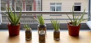 Aloe Vera Umtopfen Ableger : aloe vera anpflanzen die besten pflege tipps ~ Indierocktalk.com Haus und Dekorationen