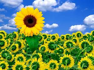 A, Little, Sunshine, Flower Wallpapers, Nature Images, Hd ...