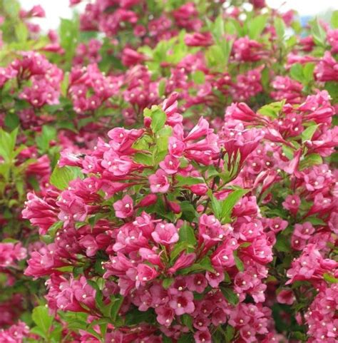 green shrub with pink flowers weigela flamingo pink flower child pinterest