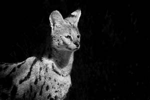 Serval Facts, Pictures, Video & In-Depth Information For ...