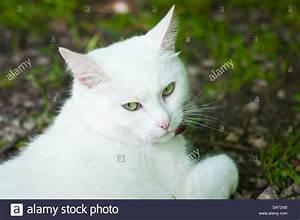 White Turkish Angora Green Eyes | www.pixshark.com ...