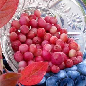 Pinkberry Pink Lemonade Plant - Soft Fruit - Fruit - Gardening