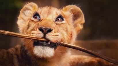 Animals Lion 4k Funny Wild Horizontal