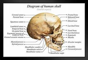 Human Skull Diagram Anatomy Educational Chart Framed