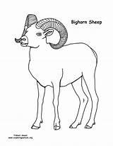 Sheep Bighorn Coloring Template Russell Printable Printing Nature Everfreecoloring Exploringnature sketch template