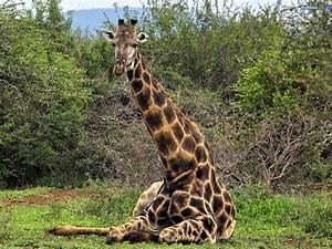 Giraffe | Animal Wildlife  Giraffe