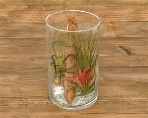 Tillandsien Im Glas : tillandsia im glas cylinder medium corsa webshop luchtplantjes en meer ~ Eleganceandgraceweddings.com Haus und Dekorationen