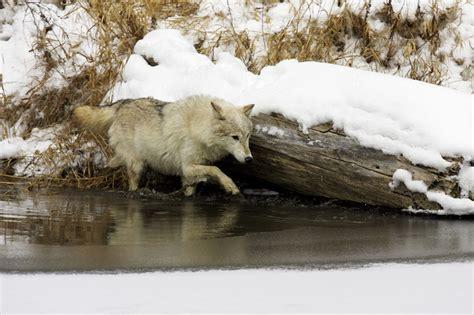 Arctic Wolves Characteristics