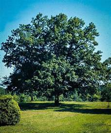 sawtooth oak for sale the tree center