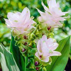 curcuma elata ginger plant flower ginger plant grow