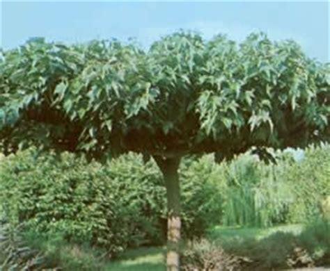 m 251 rier platane arbres
