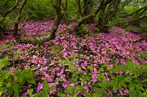 Ben Greenberg Photography Fallen Rhododendron Petals ...