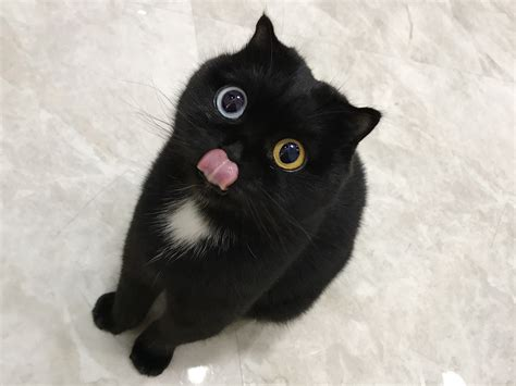 eyes cat different colored blep eyed colours star coloured condition odd heart colors insider niu nai weibo stealing genetic internet