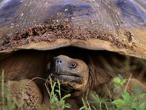 Giant Tortoise Species Wwf