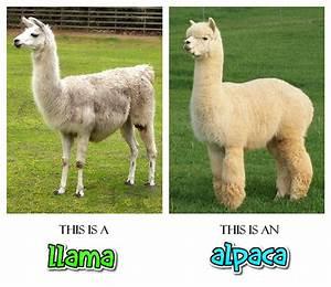 Llama Vs Alpaca | www.pixshark.com - Images Galleries With ...