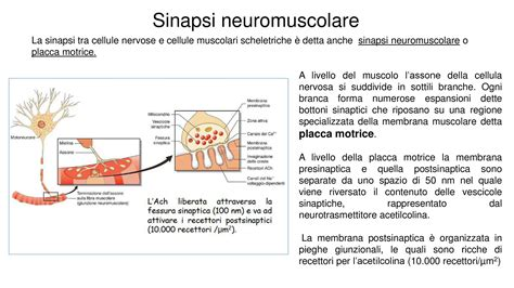 dispense fisiologia sinapsi neuromuscolare dispense