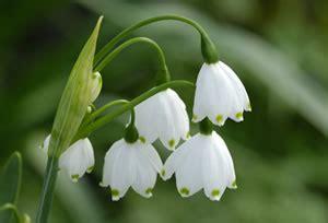 maerzenbecher pflanzen und pflege der fruehlings knotenblume