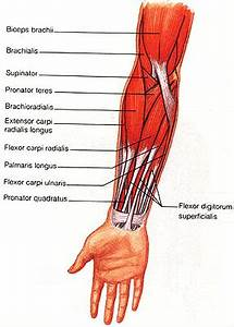 FOREARM MUSCLES: Ventral and Dorsal