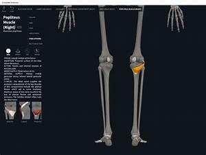 Muscles  Popliteus   U2013 Anatomy  U0026 Physiology