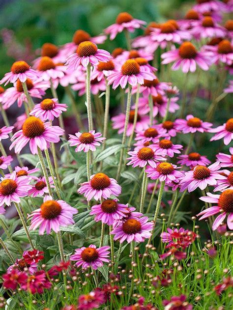 or perennial 25 best ideas about hardy perennials on pinterest hardy plants perennial ground cover and