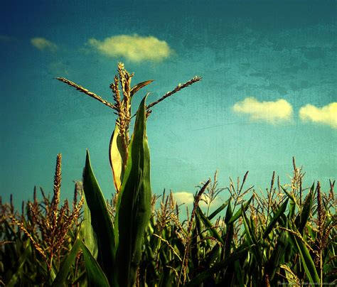cornfield pictures  resolution wallpapers wallpapersafari