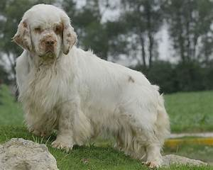 Clumber Spaniel - All Big Dog Breeds