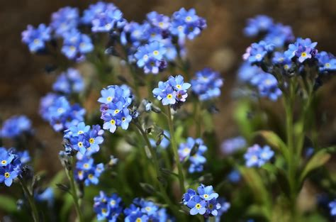 forget me not flowers hata3 s photo haiku flowers of forget me not