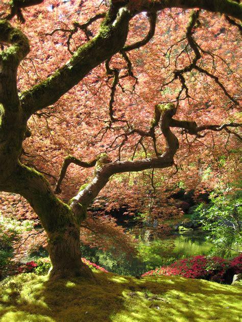 japanese garden portland file portland japanese garden maple jpg wikimedia commons