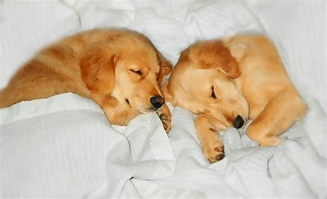 golden retriever dog puppies sleeping photograph  jennie