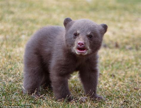Adorable Baby Bear In Minnesota Playfully