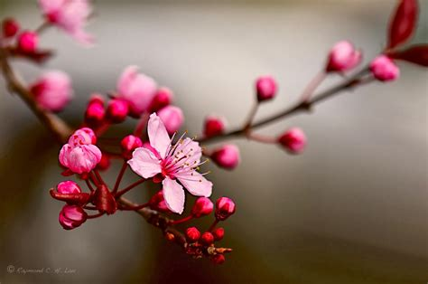 cherry blossom facts 28 best japanese cherry blossom facts information on cherry tree blossoms ehow uk 16