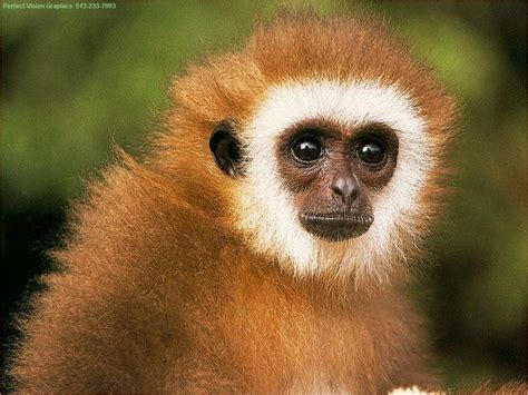 Can Anybody Id What Is This Monkey (gibbon?) {!--원숭이