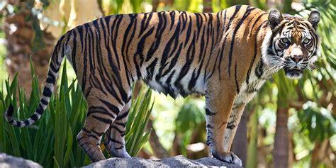 sumatran tiger facts information adelaide zoo