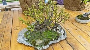 Bonsai kaufen schneiden und pflegen ndrde ratgeber for Garten planen mit bonsai lebensbaum kaufen