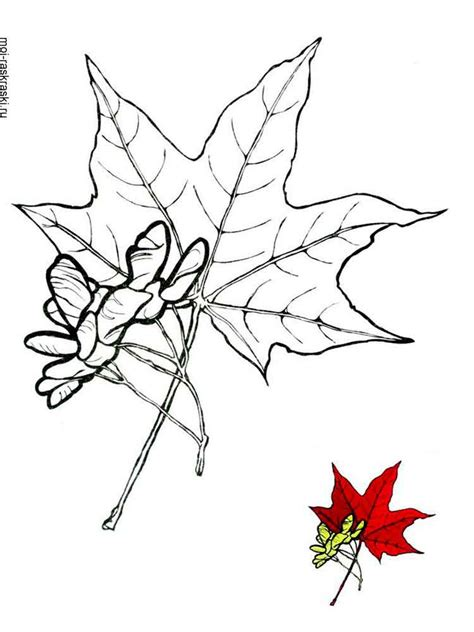 maple tree coloring pages  kids  printable maple