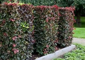 Langsam Wachsende Hecke : welche hecke pflanzen garden and flowers pflanzen ~ Michelbontemps.com Haus und Dekorationen