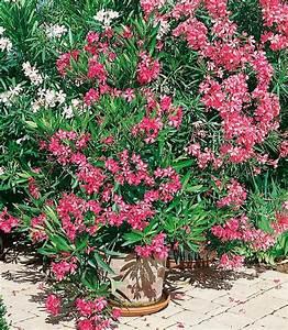 Oleander Winterhart Kaufen : beet balkonpflanze oleander online kaufen otto ~ Eleganceandgraceweddings.com Haus und Dekorationen