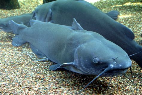 cat fish file channel catfish jpg wikimedia commons